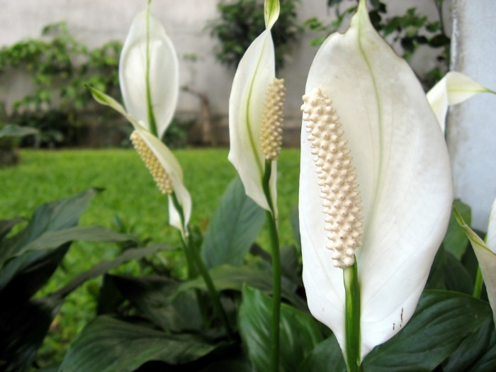 A Peace lily can be grown indoors in lower light conditions.