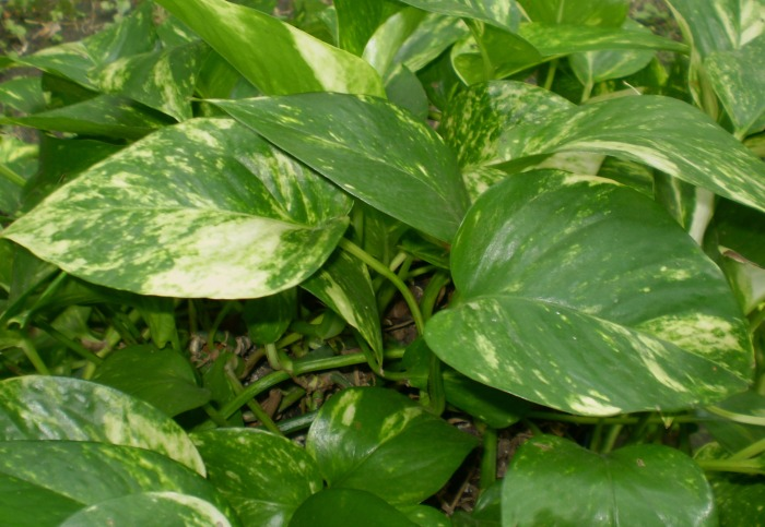 Prayer Plant u2013 Calathea. This variegated plant is grown in short containers since it has a shallow root system. It has several varieties of colors from ... & Low Light Indoor Plants - My 20 Favorite House Plants azcodes.com