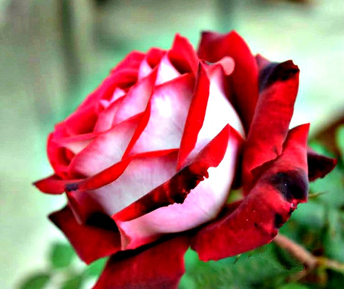 Osiria rose with red and white petals grown by one of my readers Carl H.