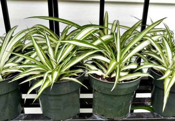 Take cuttings of spider plants for new house plants for free