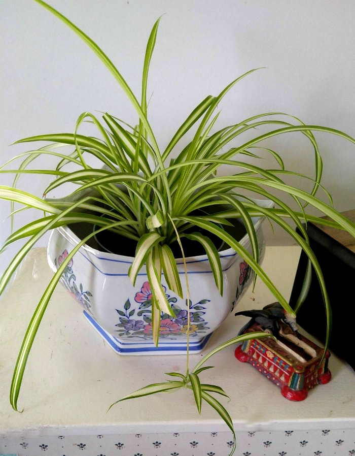 Spider plants are very easy to grow indoors.