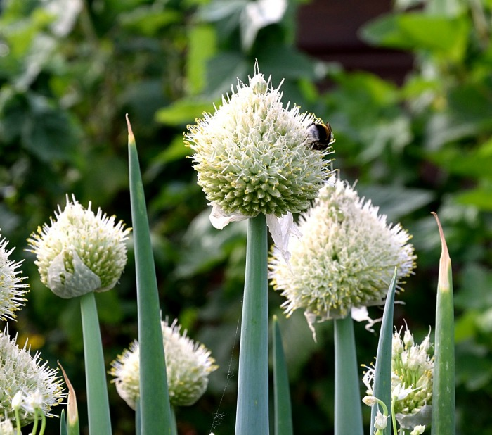 Flower umbrels on on spring onions produce seeds.