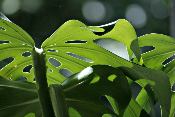 The Swiss cheese plant - Monstera Deliciosa has distinctive holes in the leaves.