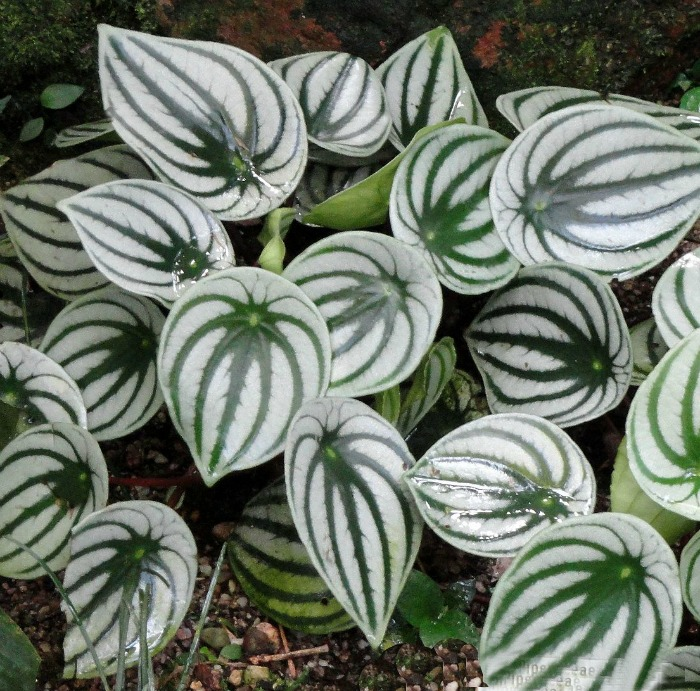 Watermelon peperomia can be grown indoors in lower light conditions.