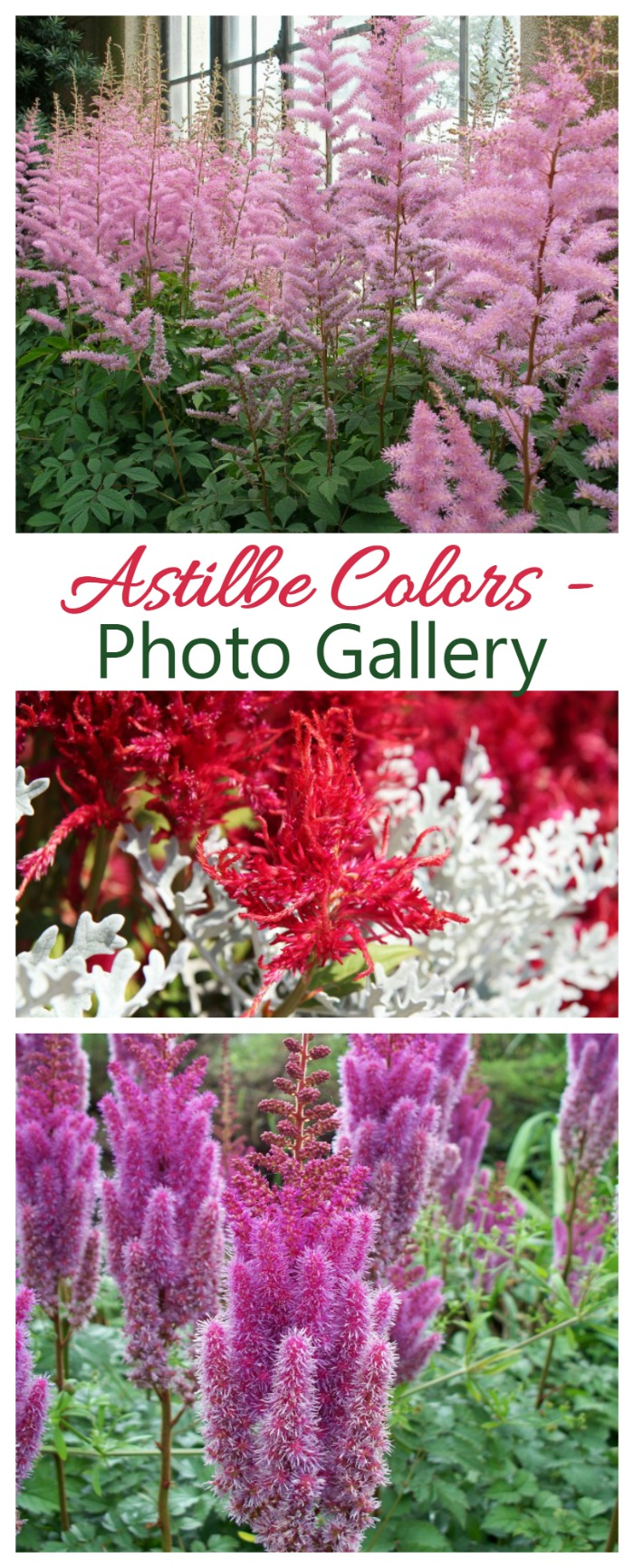 Astilbe colors run the gamut from pure white to deep red with dozens of shades of pink, peach and purple in between. The plant does best in a semi shady garden and will be the star all summer long.