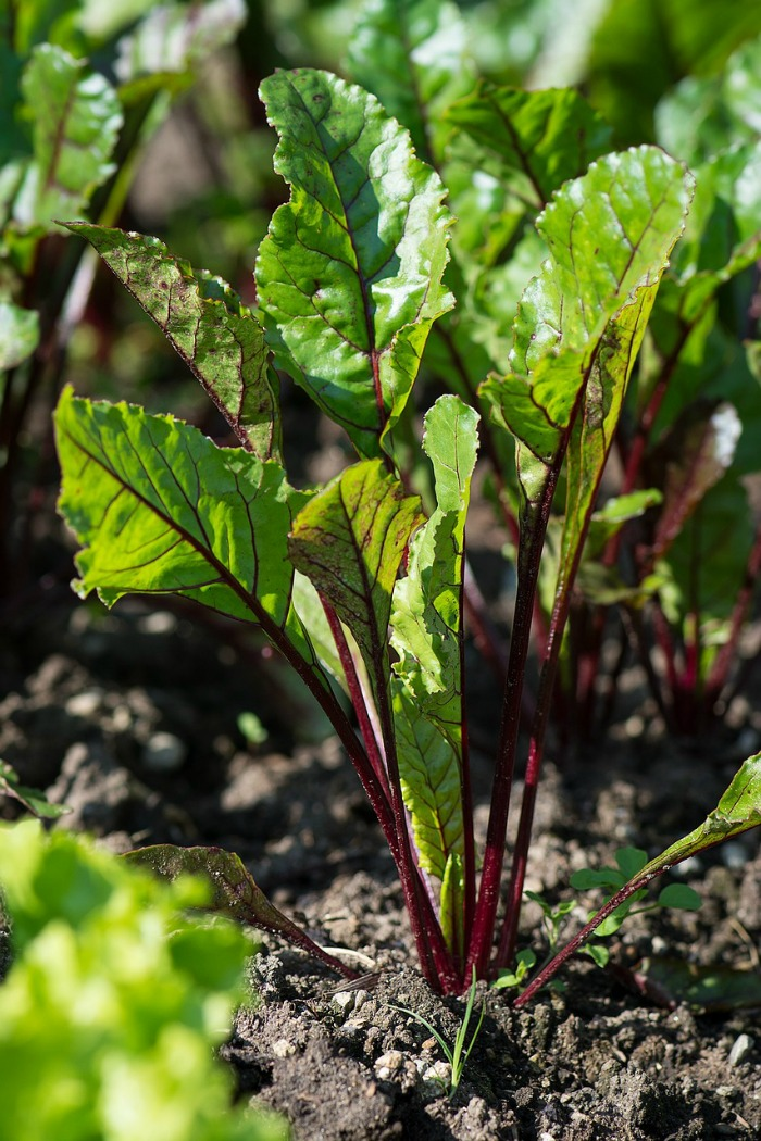 Beets are good cold weather crops and grow into the summer too.
