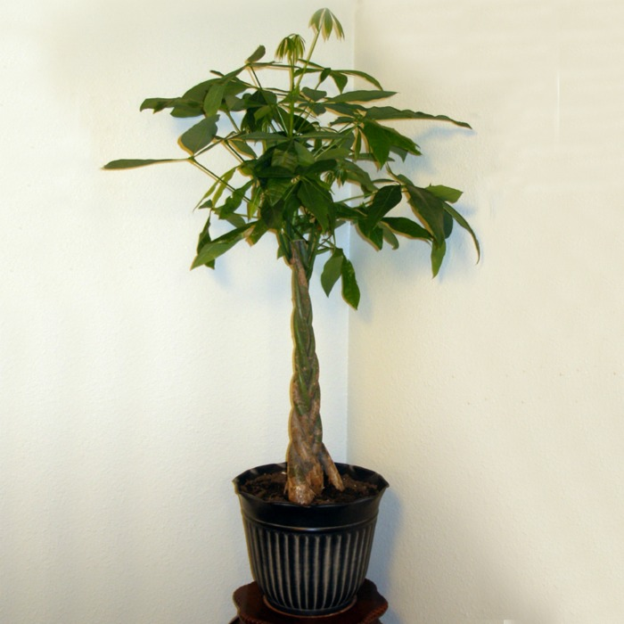 The braided money tree plant can take lower light levels