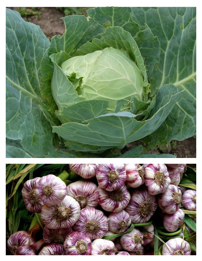Cold hardy vegetables like cabbage and garlic can take the cool temperatures of very early spring.