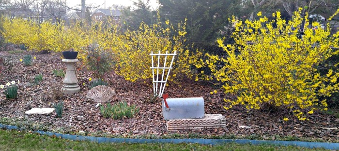 Forsythia bushes along a fence line