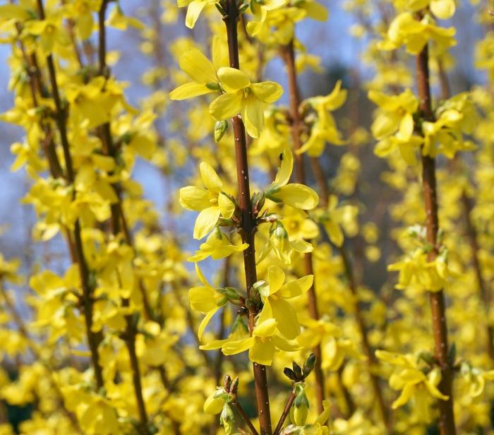 Forsythia flower buds