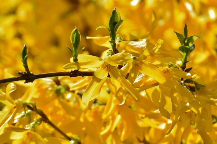 Forsythia leaves