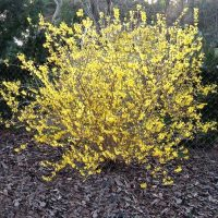 Forsythia bush