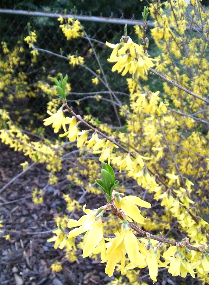 Forsythia leaves starting to grow.