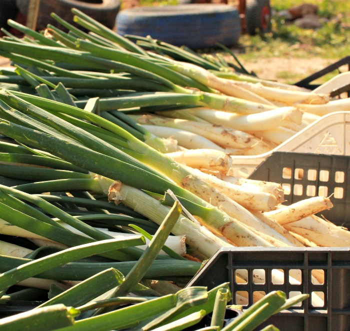 Leeks and other members of the onion family are cold hardy vegetables
