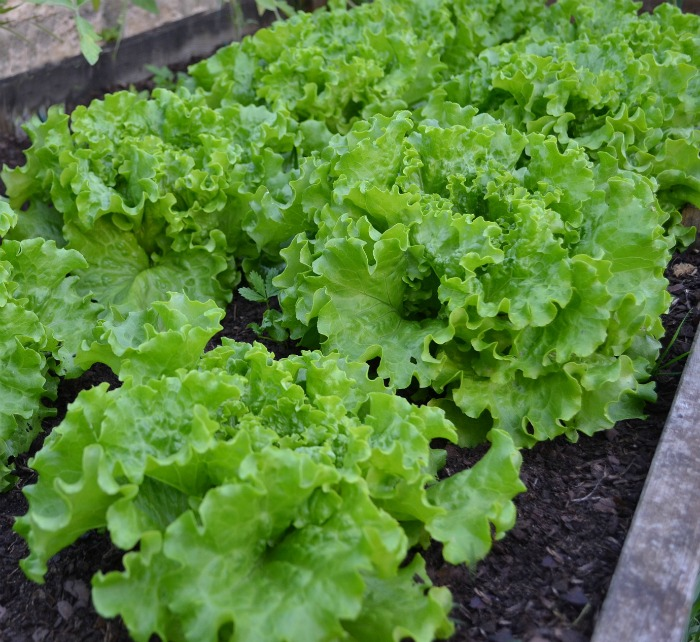 Leaf lettuce will bolt in the heat of summer