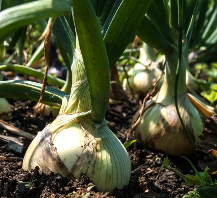 Onions are a popular cold hardy vegetable
