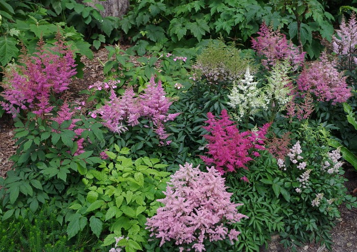 Astilbe in a garden bed