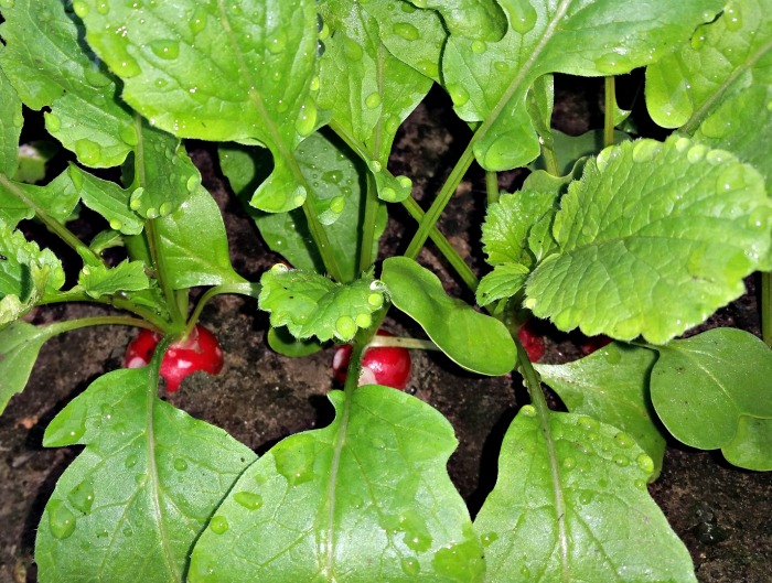 Radishes are sweeter when the temperatures are cool.