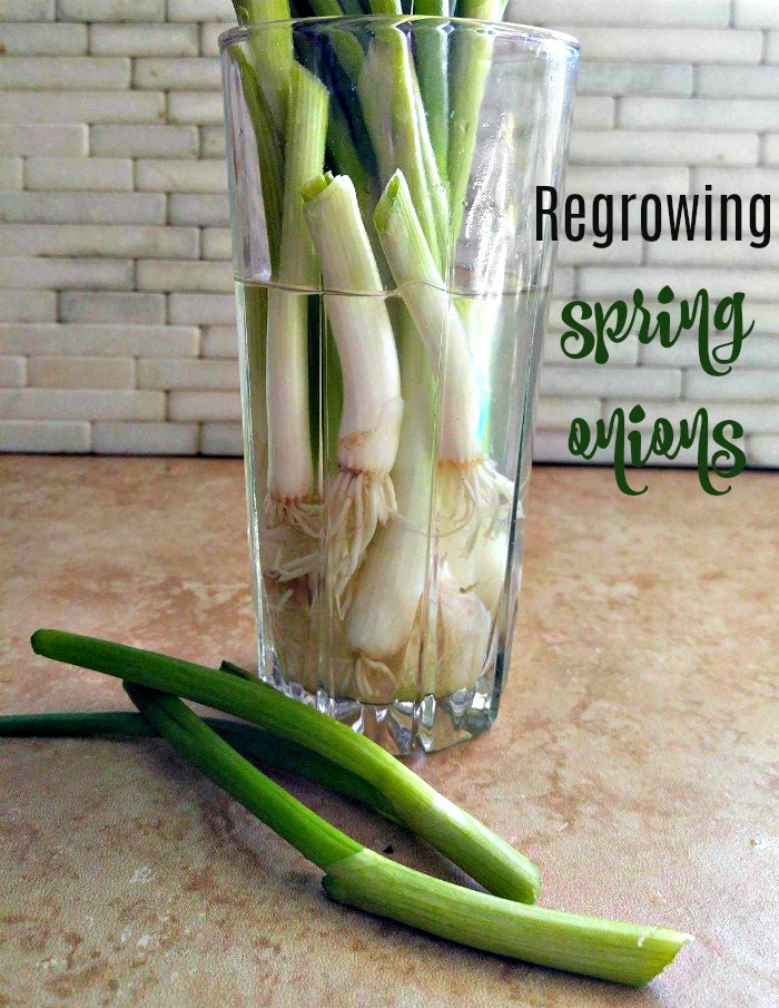How to regrow spring onions in wawter