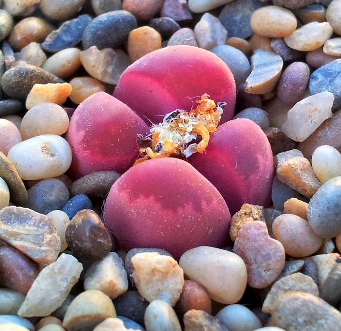 Lithops Optica Rubra after flowering
