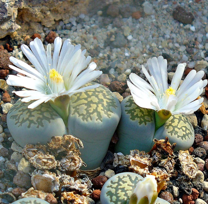 Lithops Salicola in flower