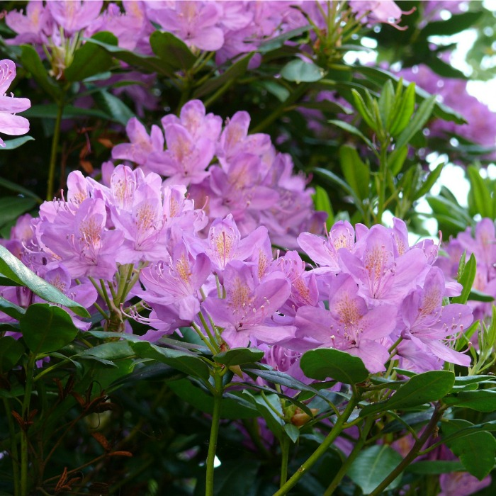Azalea bushes flower right after the spring bulbs are done