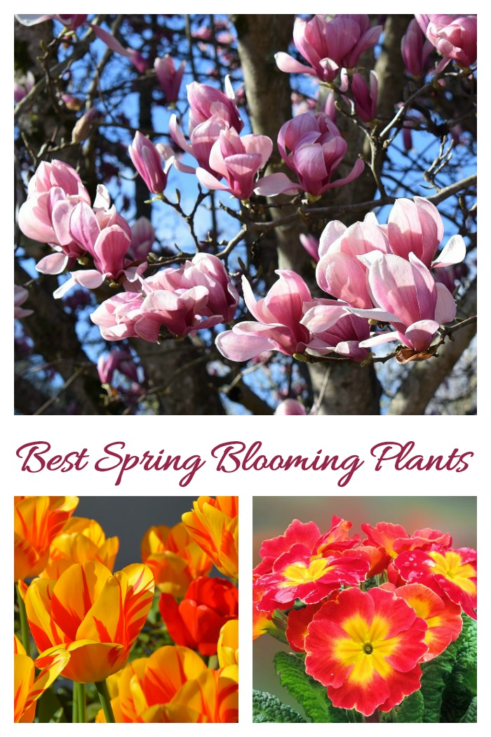 These annuals, perennials, bulbs, shrubs and trees are some of the best spring blooming plants for your garden.