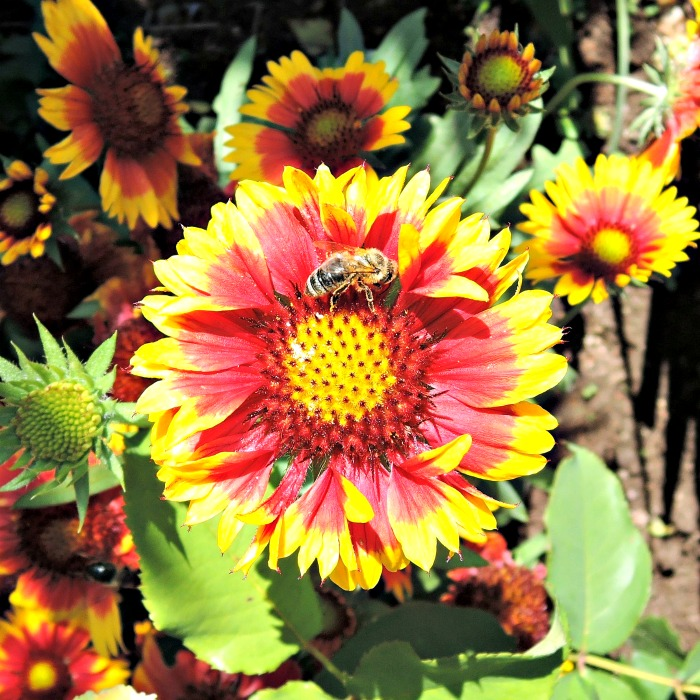 Gaillardia is also known as blanket flower