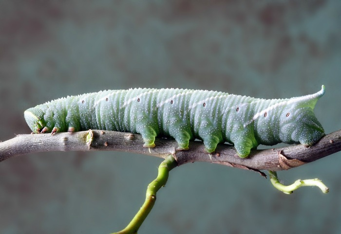 Caterpillars and other pests can decimate a vegetable garden