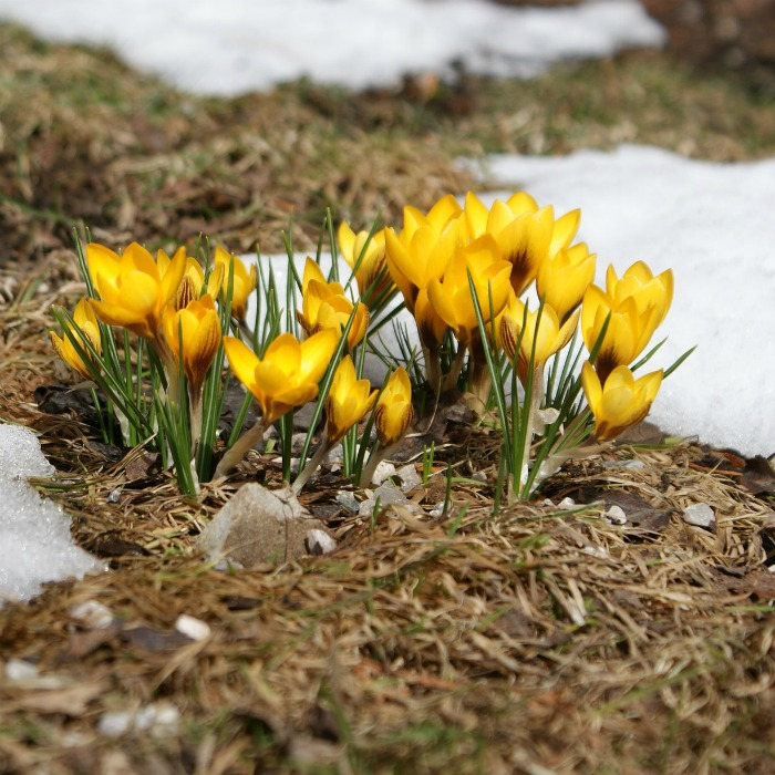 Crocus flowers in the snow.