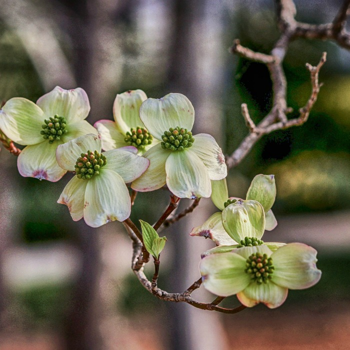 Spring blooming plants my 20 top picks for early spring flowers since i also have an etsy store that specializes in this type of jewelry a flowering dogwood has always been a favorite early flowering tree of mine mightylinksfo