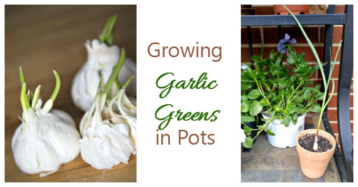 Growing Garlic Greens Indoors