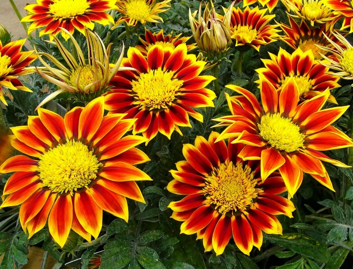 Gazanias flower all spring and summer