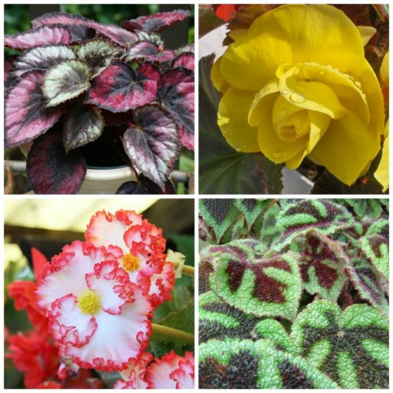 Growing begonias the showy houseplant with amazing flowers and growing begonias the showy houseplant with amazing flowers and leaves the gardening cook mightylinksfo