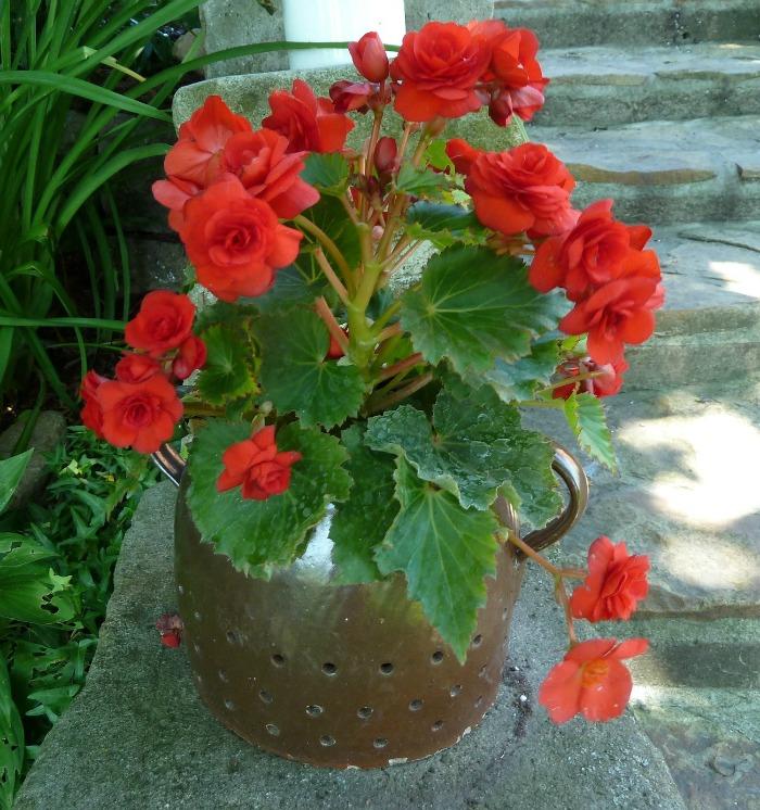 Potted tuberous begonia