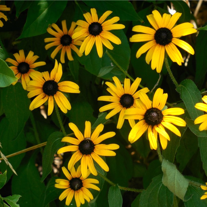 Black eyed Susan likes the sun but is more manageable in a semi shady spot.