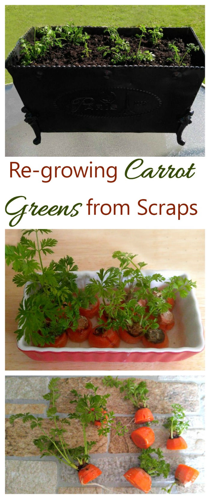 Re-growing carrot greens from scraps is a fun and easy project that is great to introduce kids to gardening.