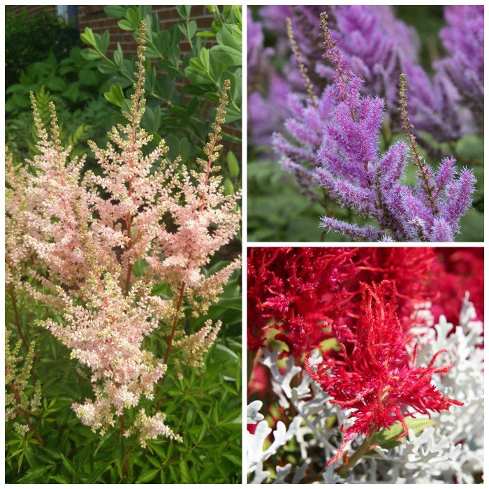 Colors of astilbe perennials
