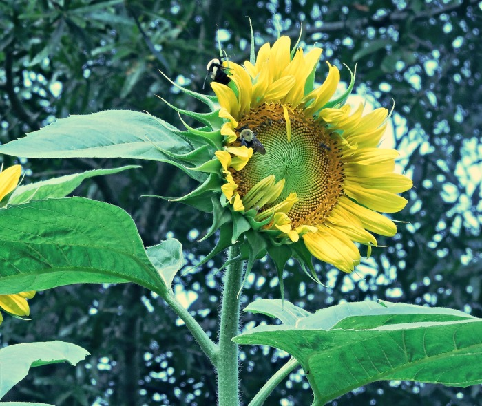 Mammoth sunflower facing the sun