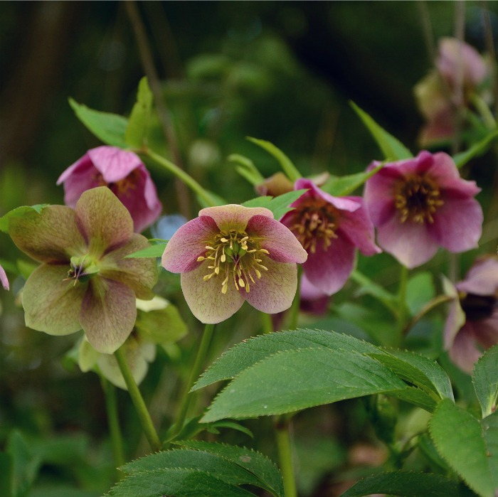 Hellebore is also called Lenten Rose