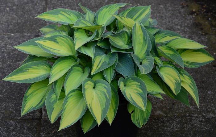 Hostas add lots of leaf color to any shady spot