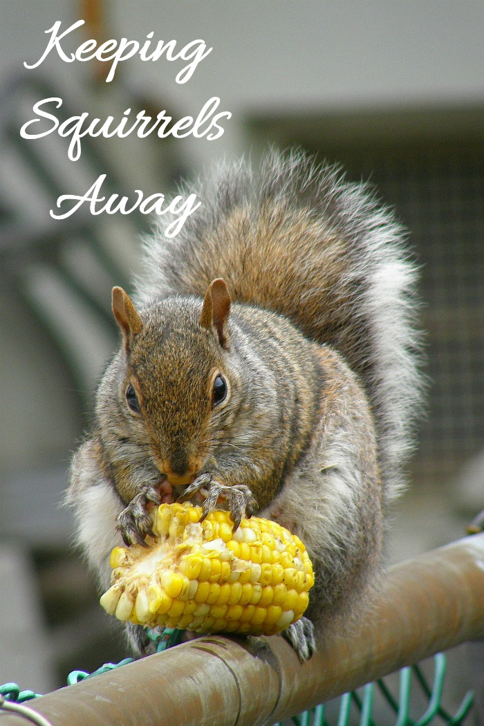 Tips for keeping squirrels out of your garden, Try these natural squirrel repellent ideas.