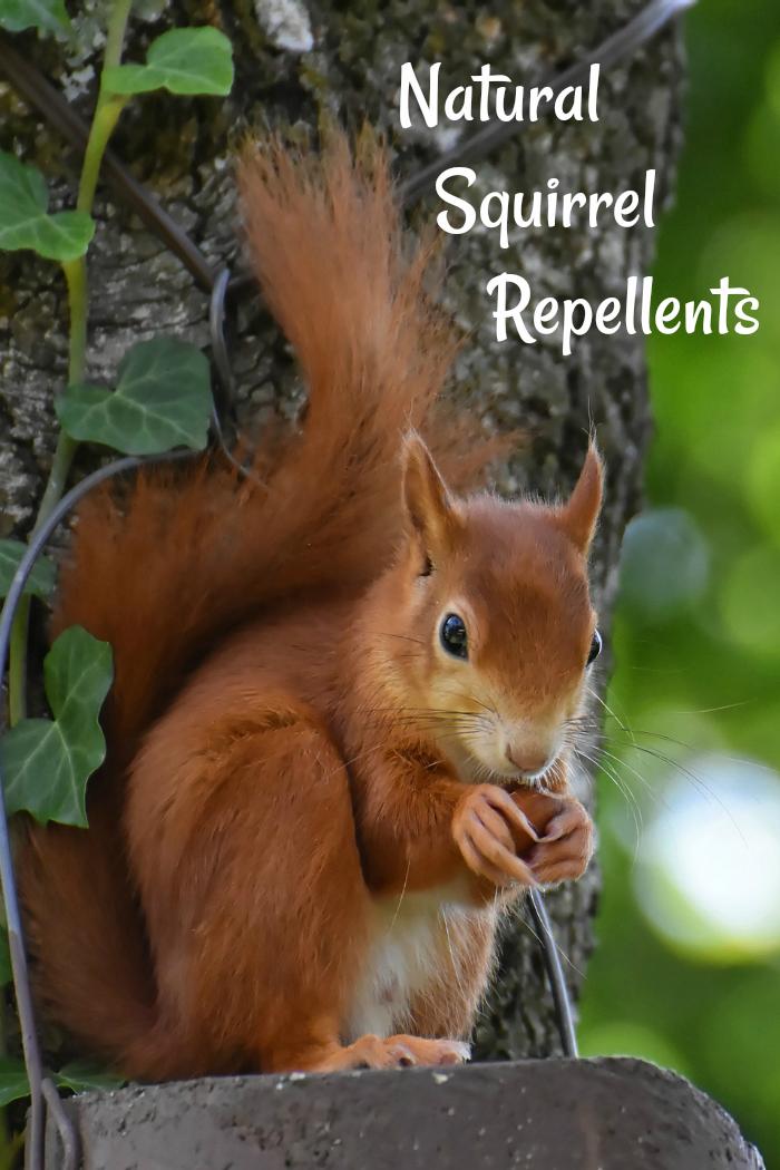Natural Squirrel Repellent Ideas