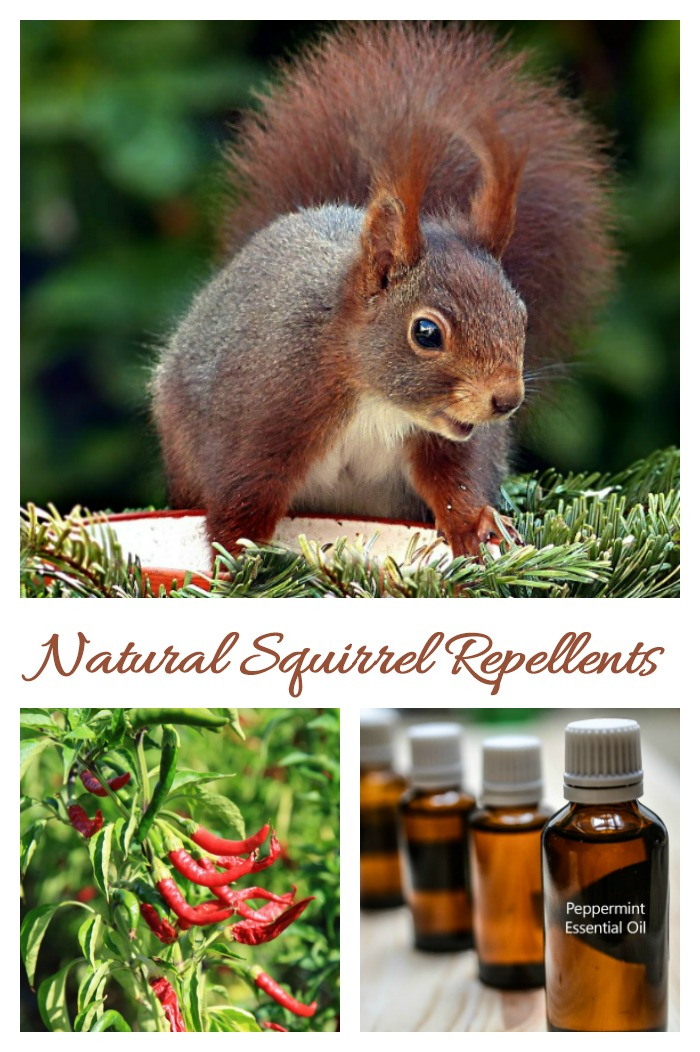 These natural squirrel repellent ideas will help you manage with a summer time pest.