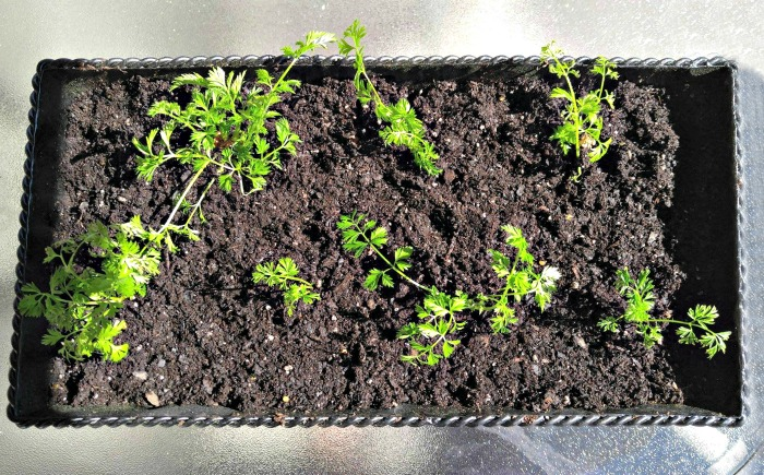 Planted carrot tops