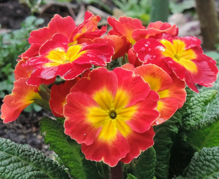 Primrose does better in the shade in southern growing zones