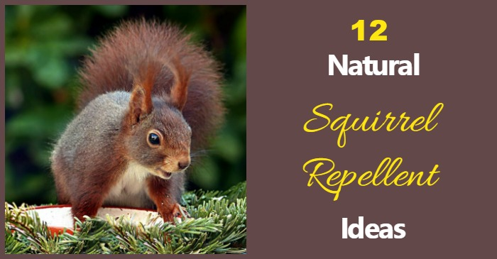 Natural Squirrel Repellent Ideas Keep Squirrels Out Of