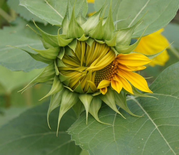 Center of a sunflower ready to open. Growing Sunflower plants