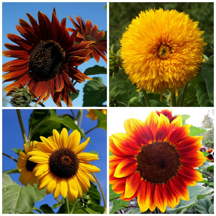 Sunflowers come in many colors