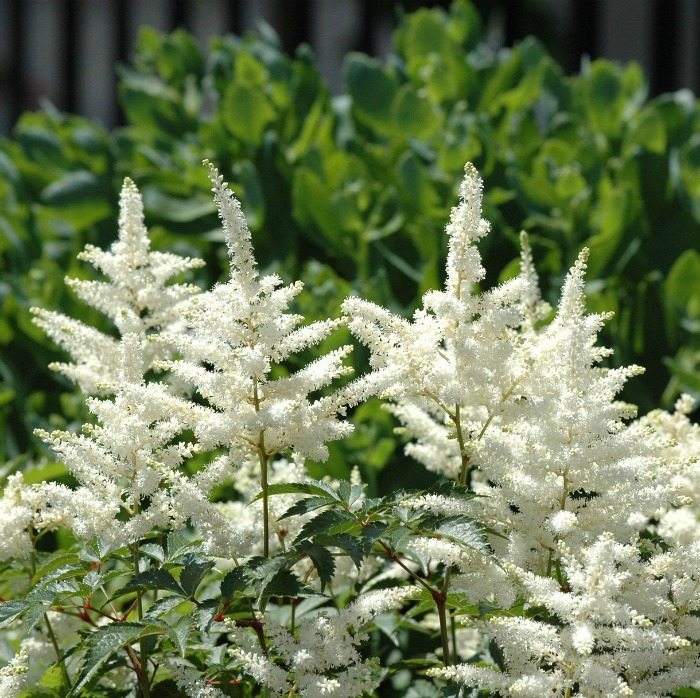 Tips for Growing Astilbe -